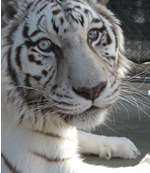 Sampson a Siberian White Tiger