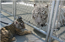Sampson and baby tiger
